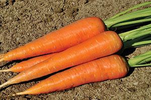 carrot-300,200